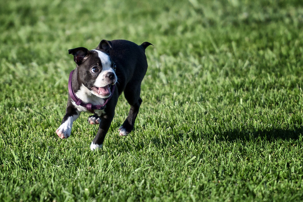 how-to-potty-train-a-boston-terrier-puppy