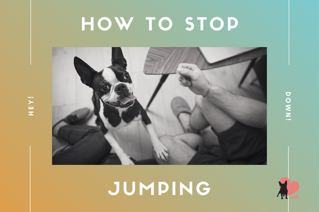how-to-stop-boston-terrier-jumping