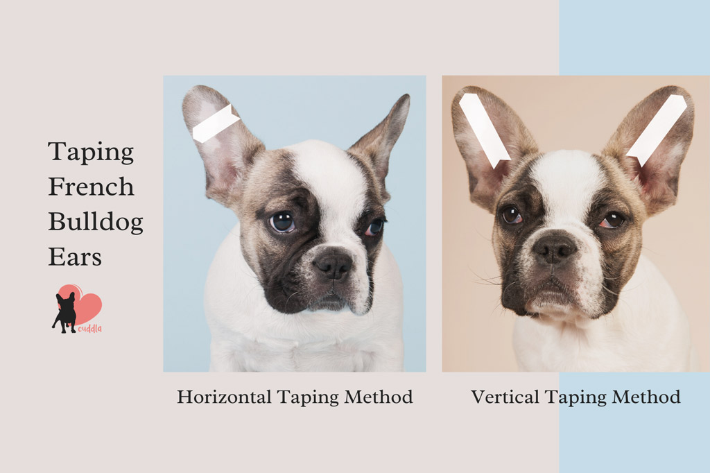how-to-tape-french-bulldog-ears