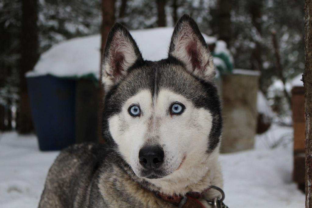 husky-dog-in-snow