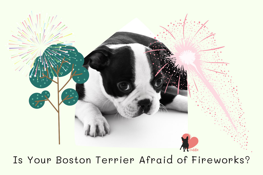 is-your-boston-terrier-afraid-of-fireworks