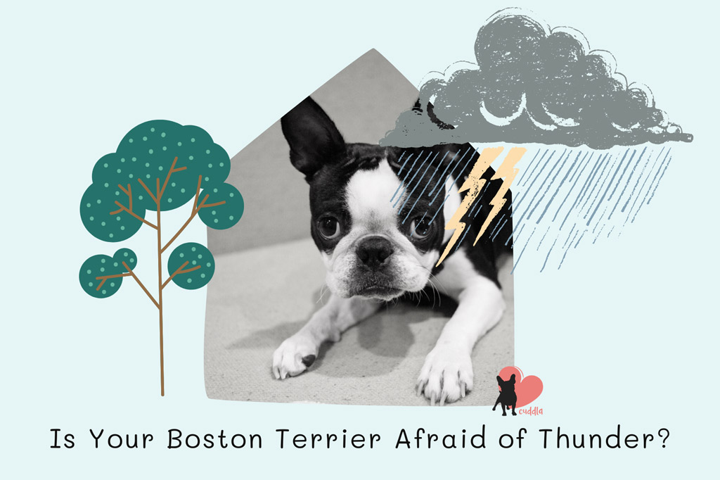 is-your-boston-terrier-afraid-of-thunder