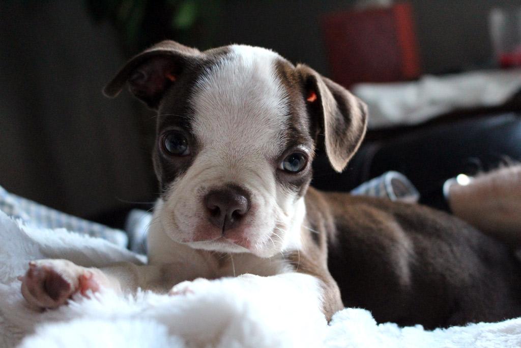 liver-brown-boston-terrier