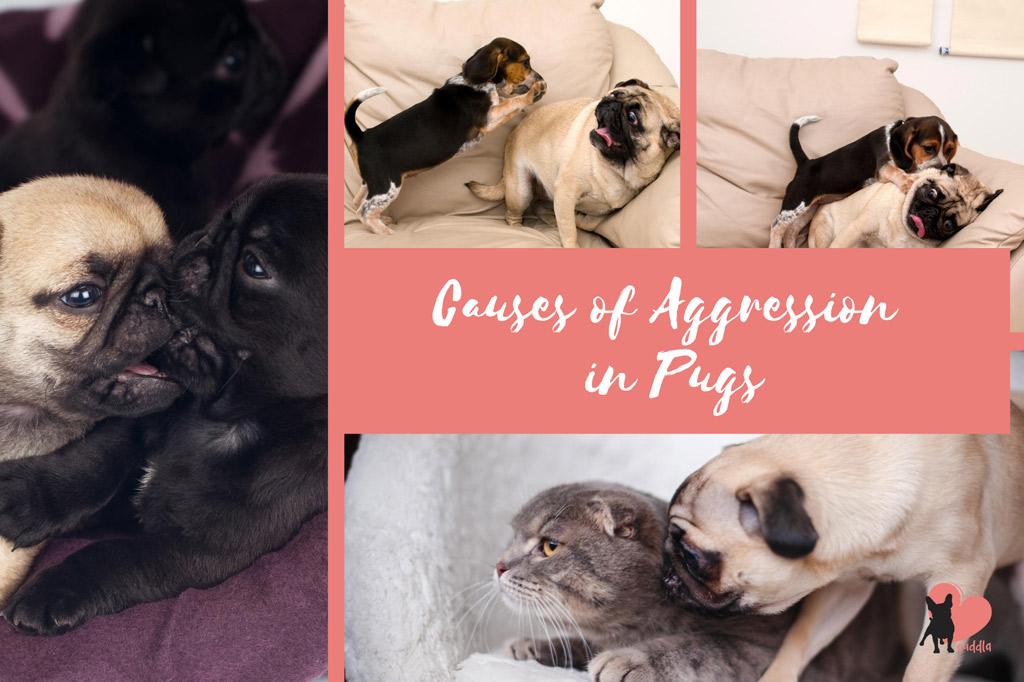 pug-aggression-causes