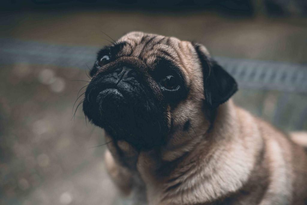 pug-begging-for-food