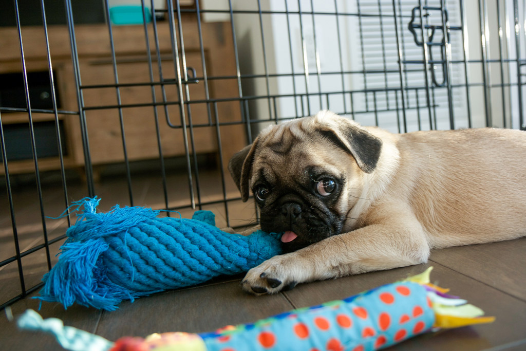 pug-crate-training