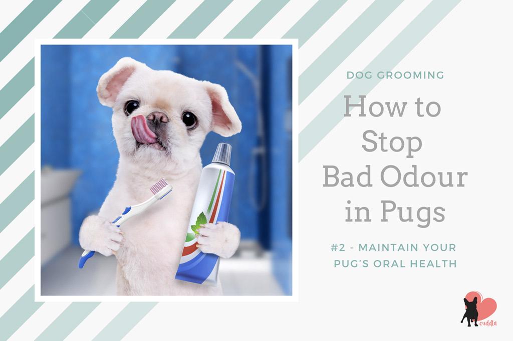 pug-grooming-brushing-teeth