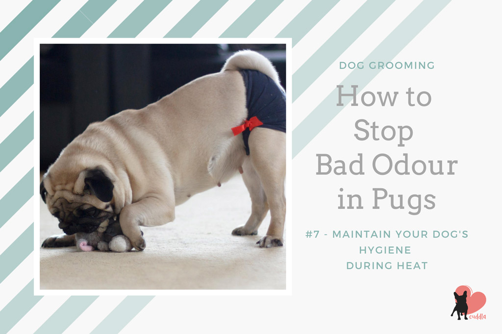 pug-grooming-changing-dog-diapers