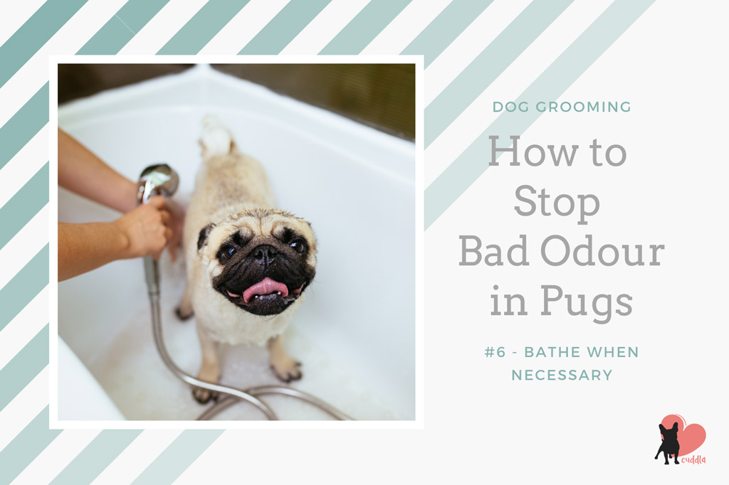 pug-grooming-how-often-to-bathe