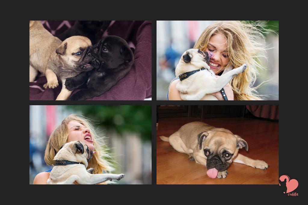 pug-licking