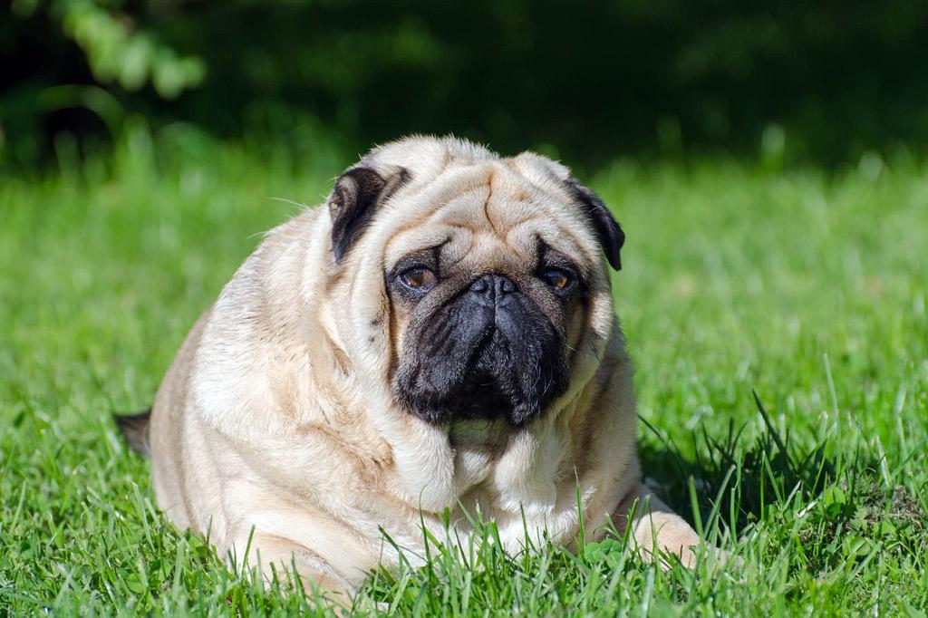 pug-overweight