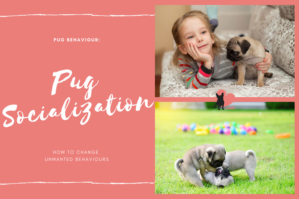 pug-socialization