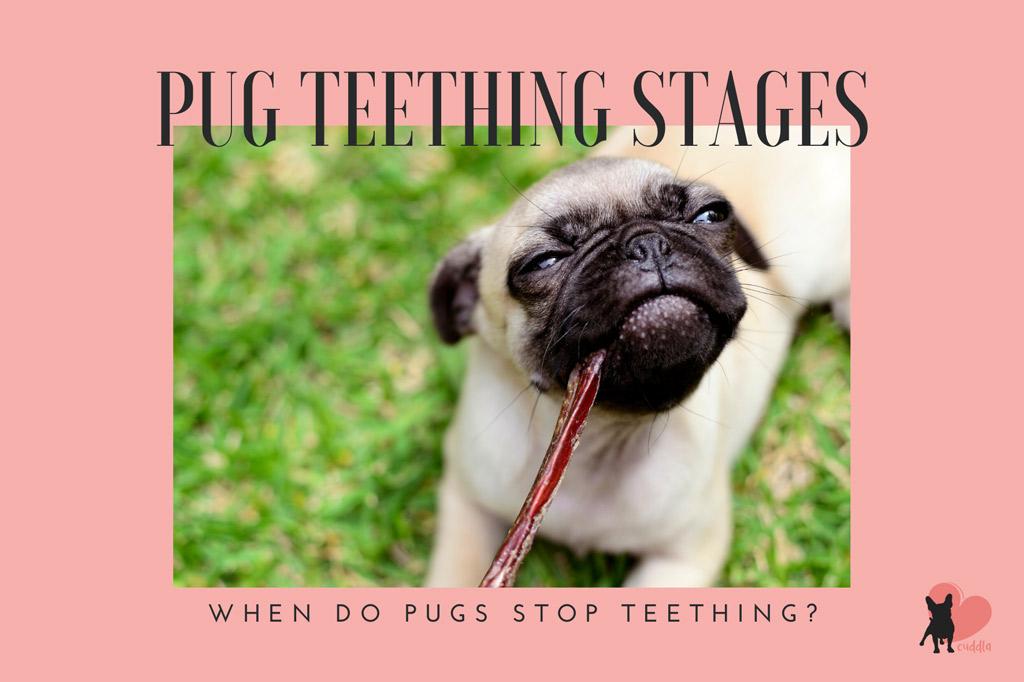pug-teething
