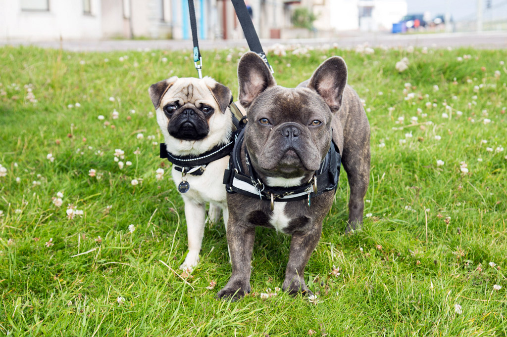 pug-vs-french-bulldog