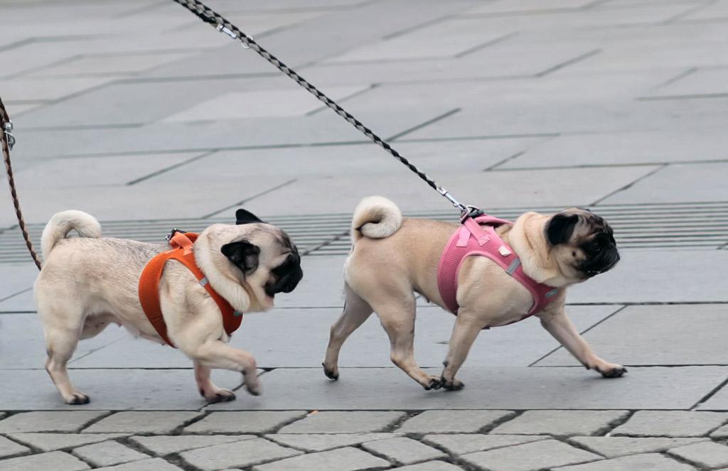 pug-weight-management