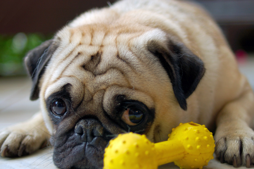 pug-with-chew-toy