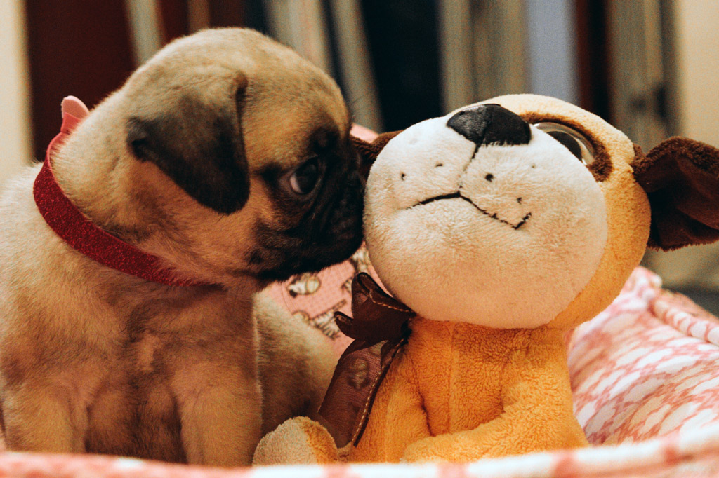 pug-with-plush-toy