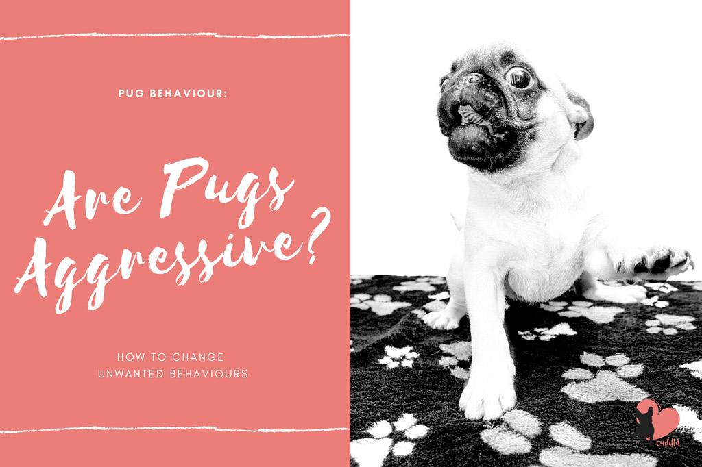 pugs-aggressive