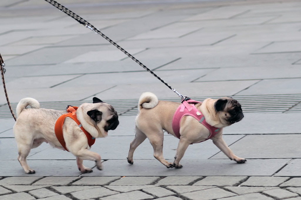 pugs-going-for-a-walk