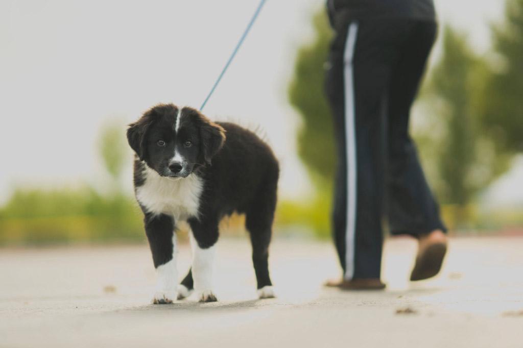 puppy-dog-walk-on-lead