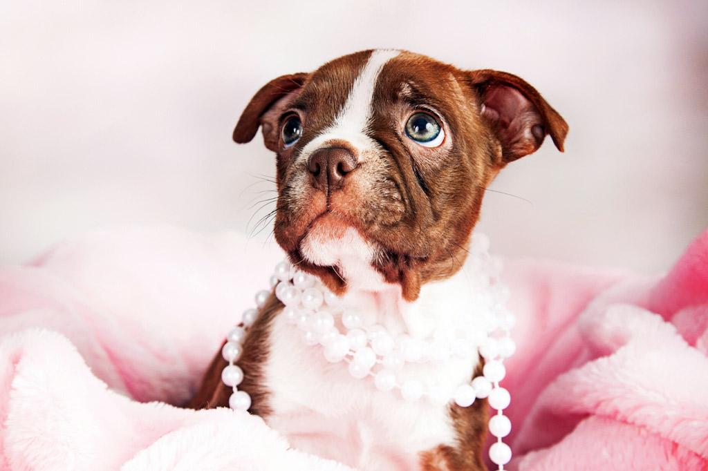 red-boston-terrier