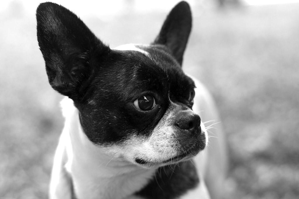 rescuing-a-boston-terrier