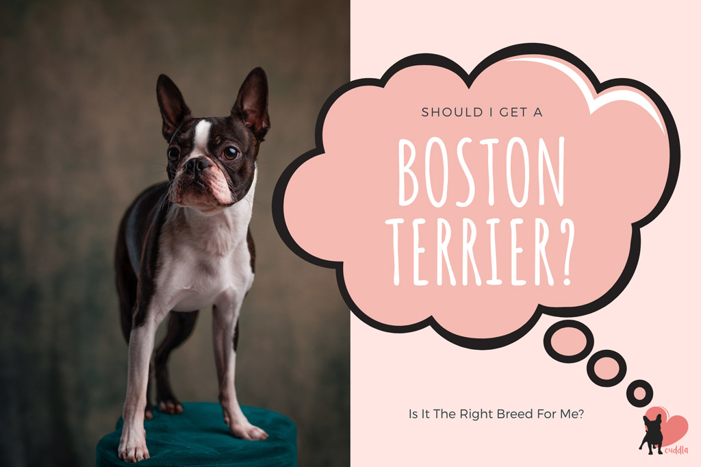 should-i-get-a-boston-terrier
