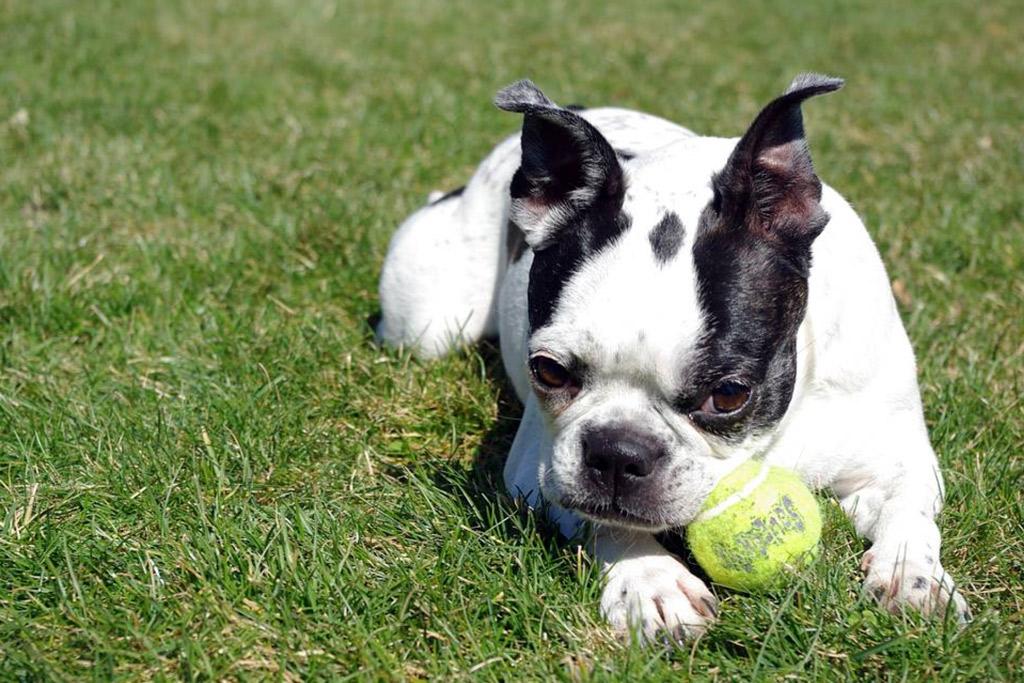 splash-boston-terrier