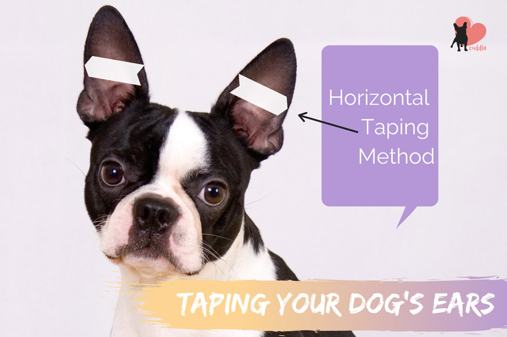 taping-boston-terriers-ears-horizontal-method