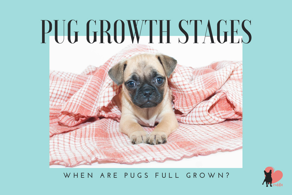 when-are-pugs-full-grown