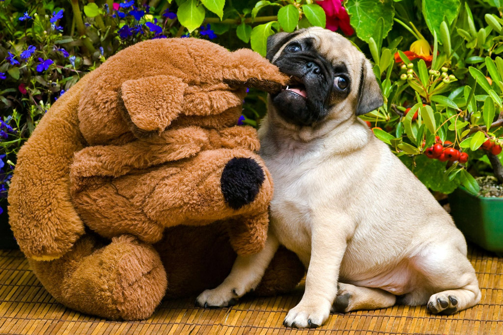 when-do-pugs-stop-teething