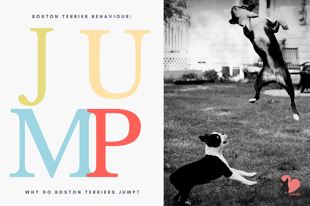 why-do-boston-terriers-jump