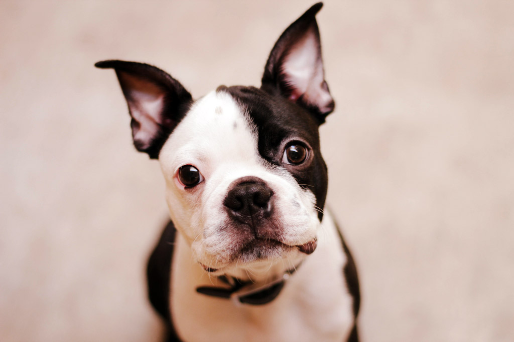 why-do-boston-terriers-shake