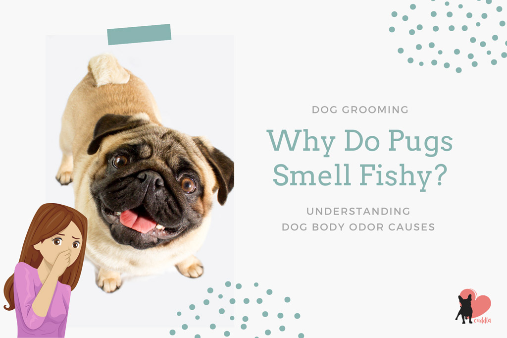 why-do-pugs-smell-fishy