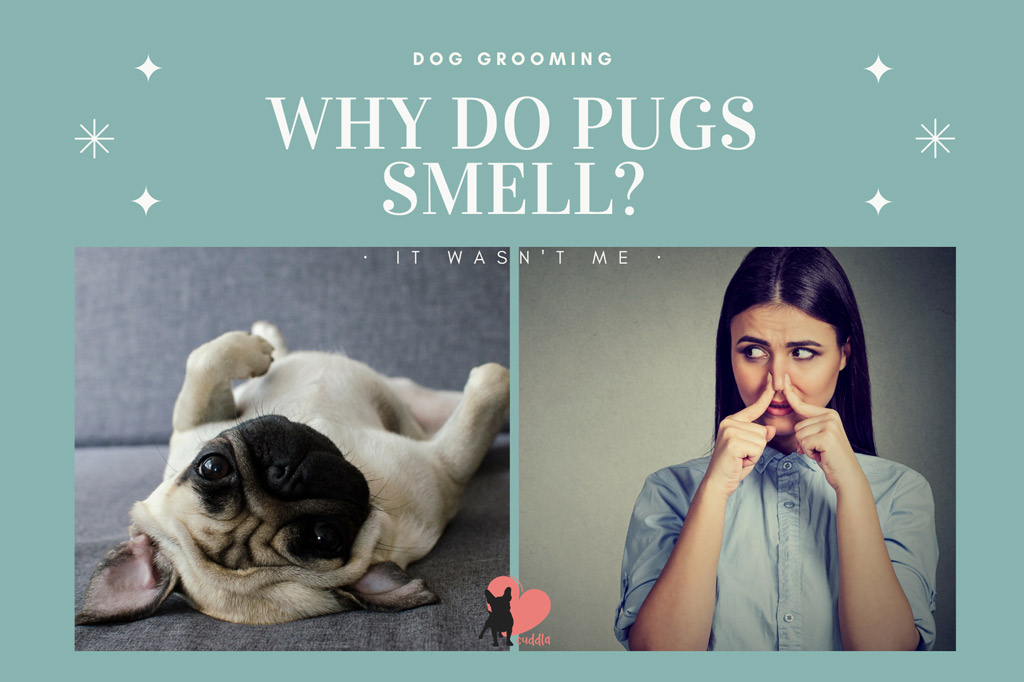 why-do-pugs-smell