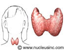 Location of the thyroid gland in the body with close-up of the thyroid gland