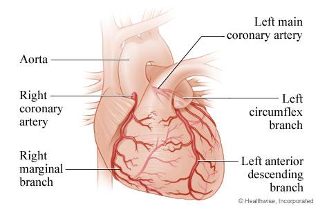 Heart and coronary arteries