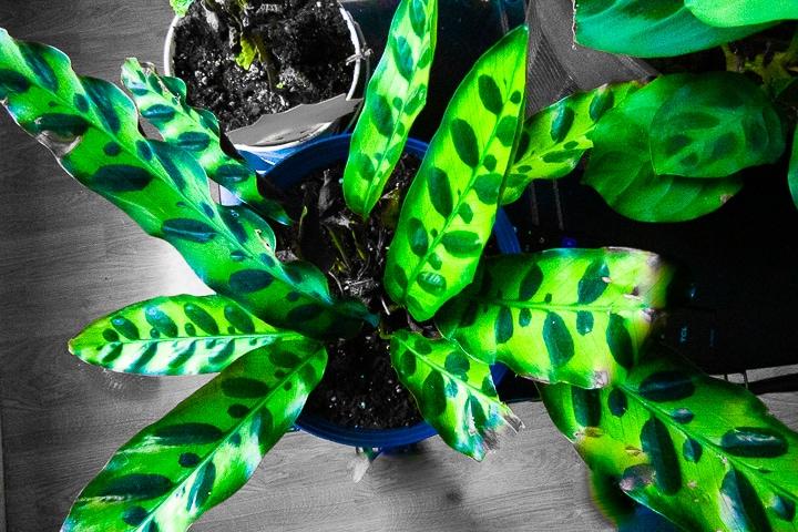 rattlesnake plant - buying plants online - indoor house plants