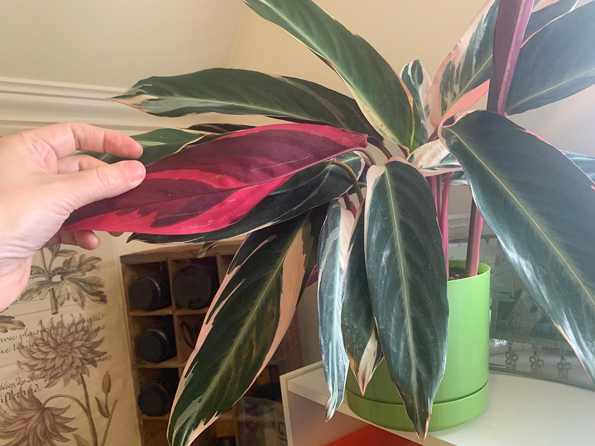 Tricolor Stromanthe Prayer Plant