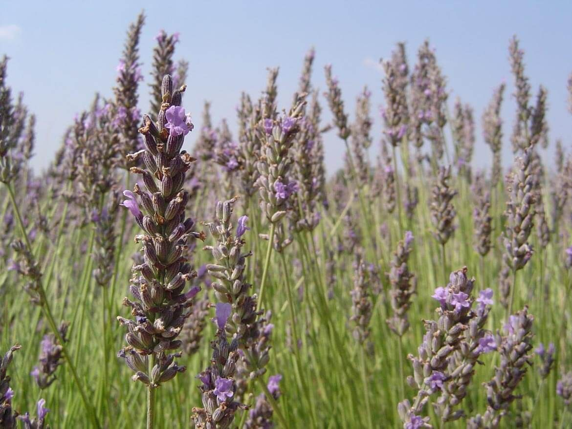 close-up of lavender in lavender field