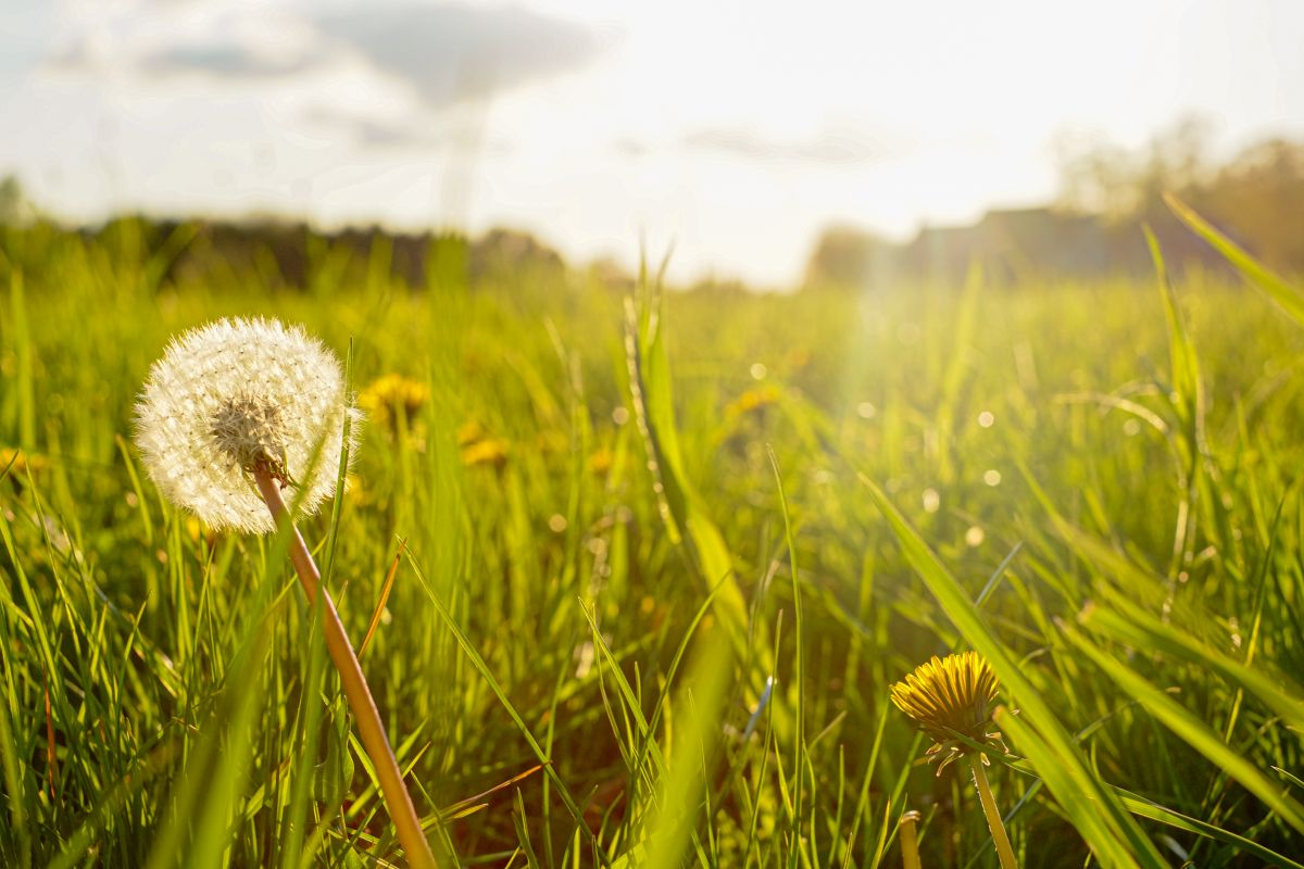 Silhouette of a dandelion in closeup against sun and sky during the dawn or sunset, creating a meditative summer zen concept background
