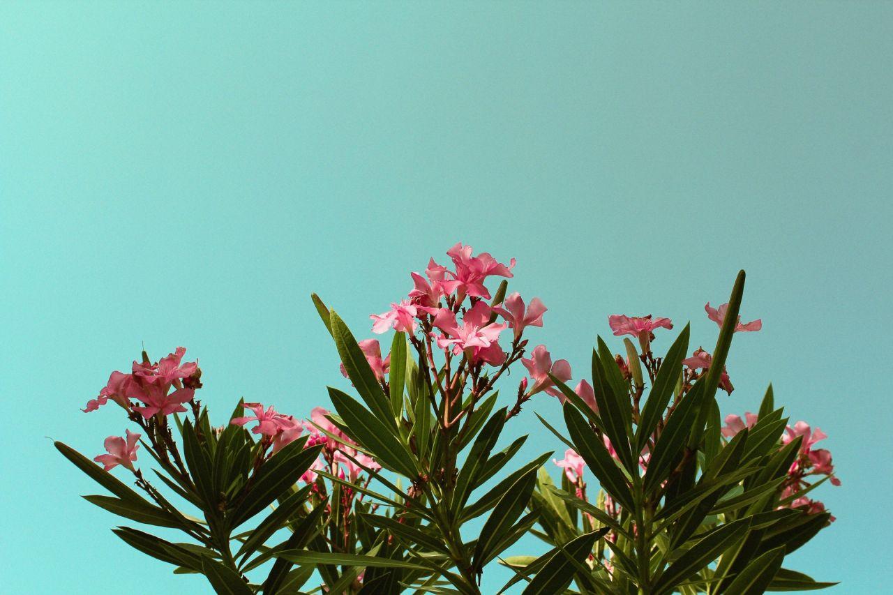 Le laurier rose | Une plante dangereuse [Guide pratique]