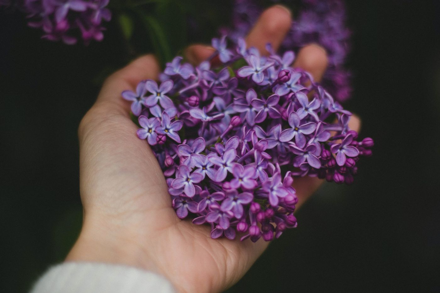 Quand tailler son lilas [Guide pratique]
