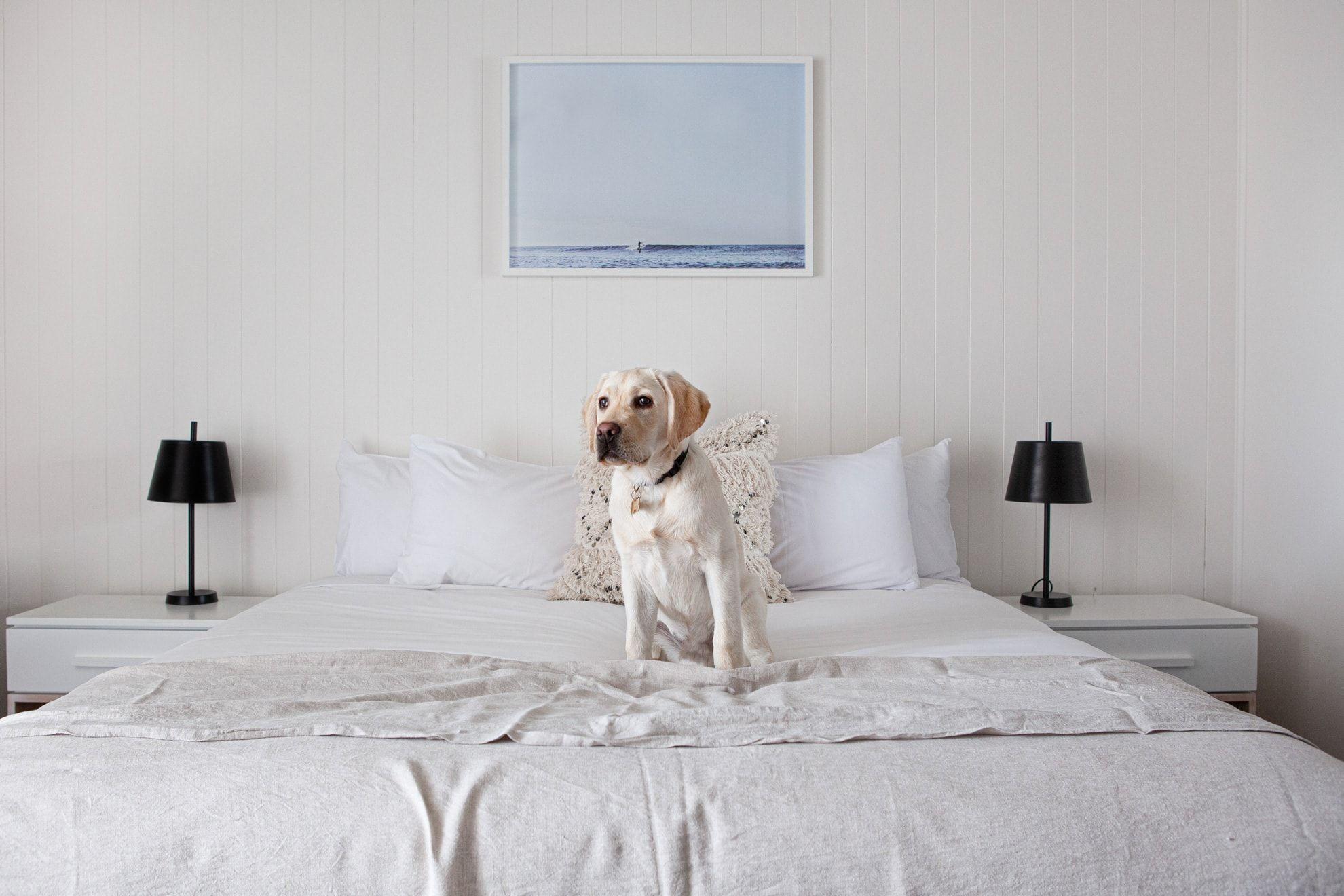 Golden Labrador sits on king bed