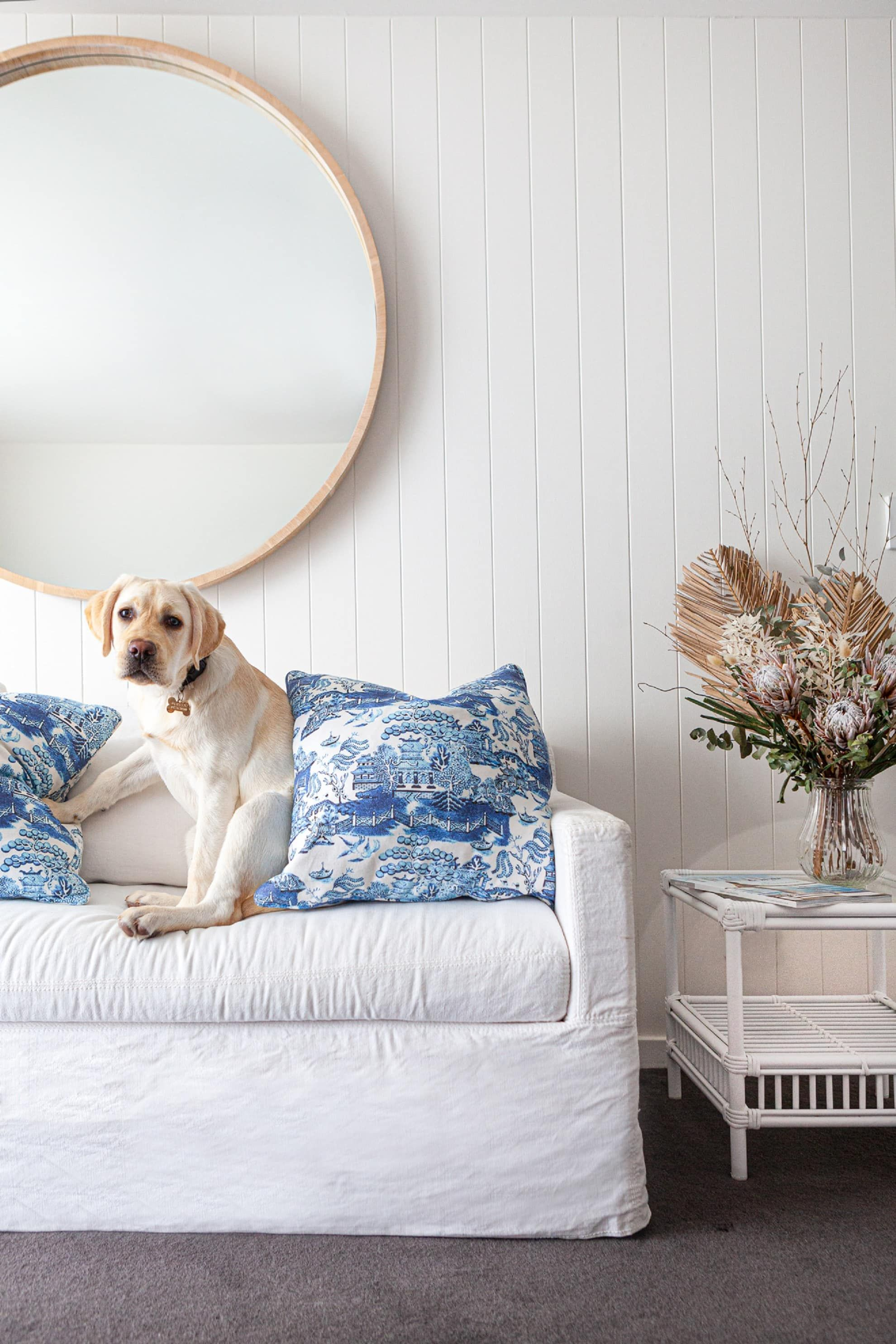 Golden Labrador sits jauntily on white sofa with blue cushions