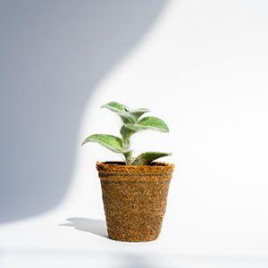 Plant for an ecological salon
