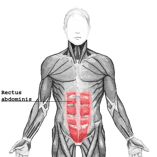 gerader Bauchmuskel