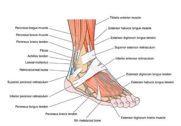 Afoot anatomy chart