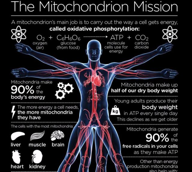 What does Mitochondria do?