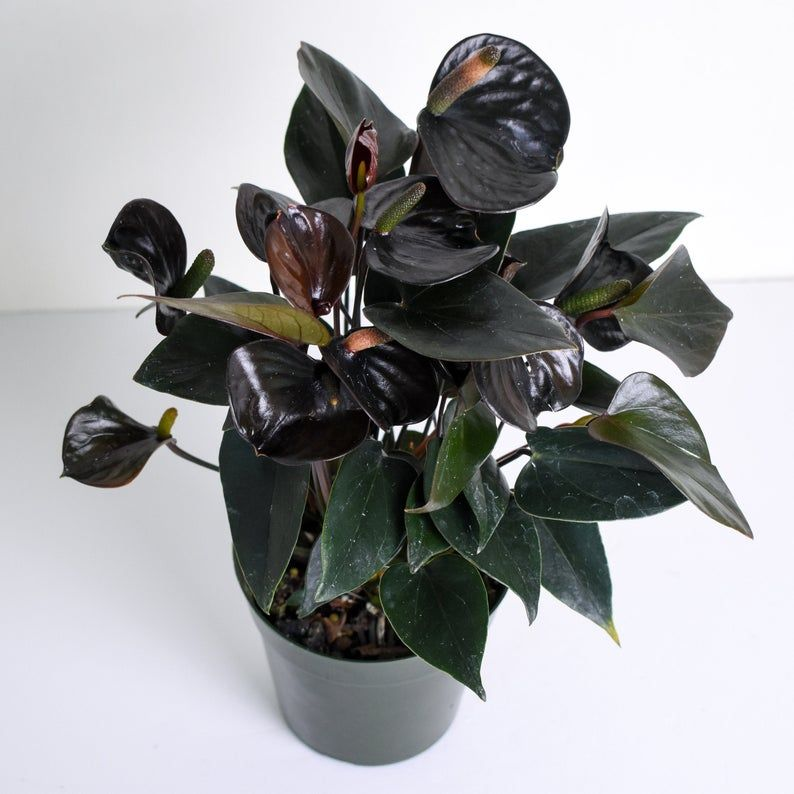 Other goth plants available online from Etsy sellers: